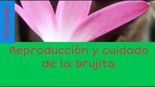 Download Como cuidar y reproducir la planta Brujita (Zephyranthes cubensis ) Video