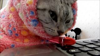Download ただそばに置いてほしいだけなのに…!言いだせなくてモジモジ…母ちゃんの香りに包まれる猫 -Wants To Cat Stay By My Side From Now on Video