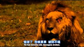 Download the last moments of a lion's life !! Video