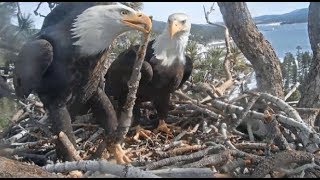 Download Big Bear Eagles ~ Shadow Brings In The 300th Stick Of The Season! Jackie Redecorates! Shad Swan Dive Video
