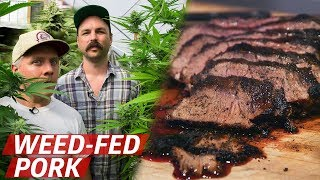 Download What Does Pork From Cannabis-Fed Pigs Taste Like? — Prime Time Video