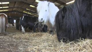 Download Rescued - a family herd of Shetland Ponies Video