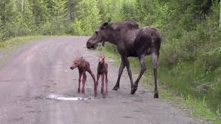 Download Moose Attacks pickup truck Video