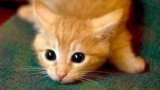 Download Are ORANGE CATS the FUNNIEST CATS? - Super FUNNY COMPILATION that will make you DIE LAUGHING Video