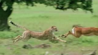 Download Cheetah chasing Impala Video