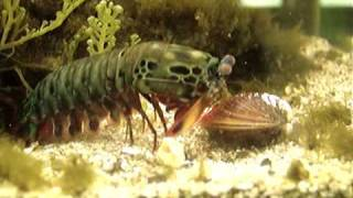 Download Mantis Shrimp Destroys Clam Video