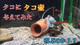 Download 【アクアリウム】タコにタコ壺プレゼントしてみた Video
