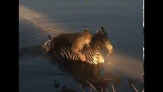 Download Lion vs Zebra - Lioness drowns Zebra Video
