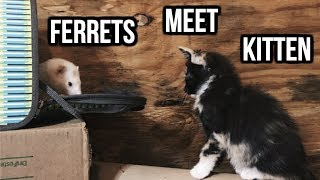 Download Ferrets Meet A Kitten For The 1st Time! Video