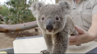 Download How To Weigh a Koala Joey Video
