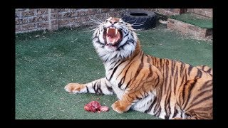 Download Can a tiger get brainfreeze? Video