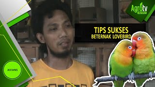 Download TIPS SUKSES BETERNAK LOVE BIRD Video