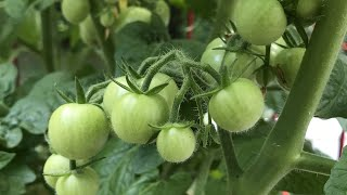 Download Two Methods to Increase Tomato Production! Video