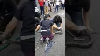 Download A man and woman extracting a python from a car Video