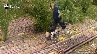 Download This Adorable Baby Panda Is Looking For Love In All The Wrong Places Video