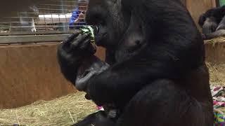 Download B-Roll: Western lowland gorilla, Calaya, giving birth Video