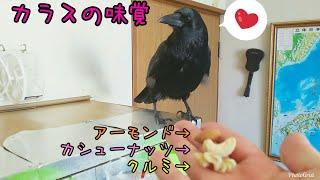 Download 【ナッツ姫】カラスの好きなナッツはこれだ!ミックスナッツで好みを調べてみた結果🐥 20190217、カラス&猫 Video