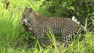 Download Leopard Catches A Duiker! Leap Of Leopards: Mother And Cubs (22) Video