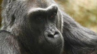Download Ältester Gorilla der Welt: Colo ist friedlich eingeschlafen Video