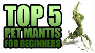 Download TOP 5 PET PRAYING MANTIS SPECIES FOR BEGINNERS Video