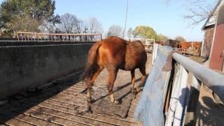 Download Verwaarloosde paarden in beslag genomen Video