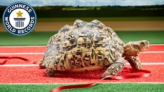 Download Fastest tortoise - Guinness World Records Video