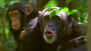 Download Human and primate relationship - Cousins - BBC Video