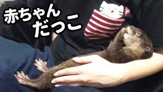 Download 【カワウソ】人間の赤ちゃん以上に甘えてくる仕草がヤバかわいい!【しゃもじ君】 Video