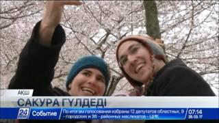 Download Вашингтондағы ауа райына қарамастан сакура ағаштары бүршік жарды Video