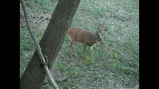 Download HEART SHOT with lots of blood on a 180 inch whitetail!!!! Video