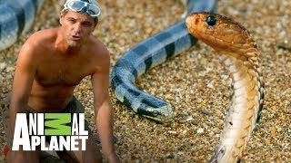 Download ¡Las serpientes más venenosas del mundo! | Wild Frank: En busca del dragón | Animal Planet Video