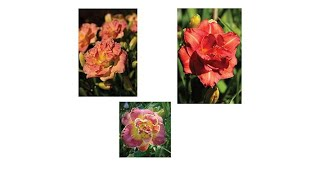 Download Moss Mountain Farm 3piece DoubleFlowering Day Lily Set Video