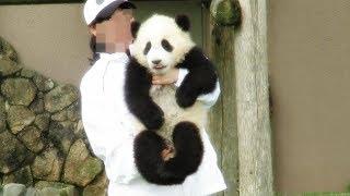 Download 飼育員さんに反応して起きて、抱っこされて帰っていく姿が可愛すぎる結浜♪ Very very cute panda baby Yuihin♪ Return to home... Video
