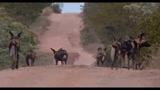 Download Pt 1 Safari Live's Sunrise Safari Drive at 5:30 AM on Jan 23, 2018 ( Wild Dogs ) Video