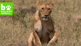 Download Lions Hunt At Night - Migration Diaries Day 2 Video