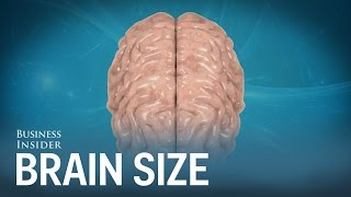 Download Human brains compared to other animals Video