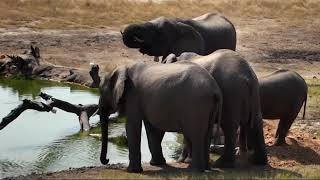 Download Djuma: Short Trunk Elephant and her small herd - 08/16/18 Video