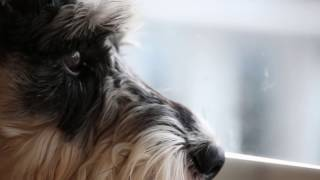 Download Mini Schnauzer Puppy Home Alone #PetsAddLife Video