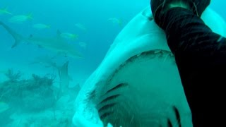 Download How to Dive with Tiger Sharks Video