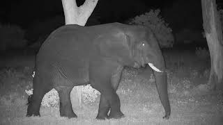 Download Djuma: Two Elephant bulls - 20:58 - 01/14/2020 Video