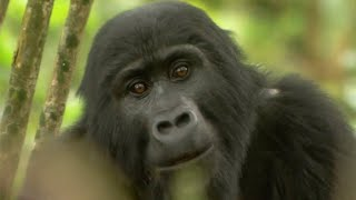 Download Gorilla Mating - Mountain Gorilla - BBC Video
