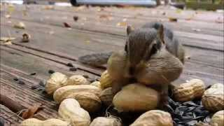 Download Squirrel Cam - The Chipsters are being greedy (and cute)! Video