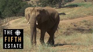 Download Sanctuary for the Toronto Zoo elephants - the fifth estate Video