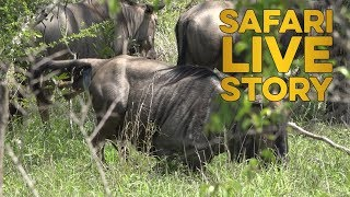 Download Wildebeest Birth Video