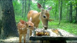 Download Doe with fawn Video