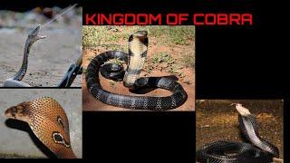 Download KAMU HARUS TAU PERBEDAAN COBRA DAN KING COBRA Video