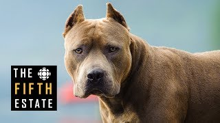 Download Pit Bulls Unleashed: Should They Be Banned? - The Fifth Estate Video
