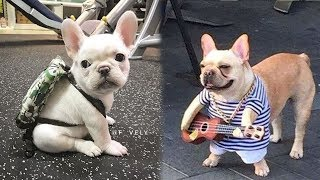 Download Funny and Cute French Bulldog Puppies Compilation #1 - Most Funny Dogs Video