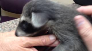 Download Baby Procyon lotor hacking advice for a Rehabber Video