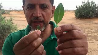 Download العوسج شجر الجن وشجر الغرقد Lycium shawi - Nitraria retusa Video